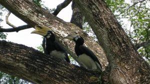 Hornbill at Pasir Ris Park